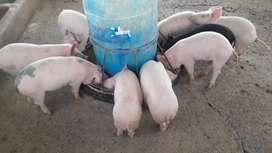 Vendo lechones !! Y media reces cerdo 10p