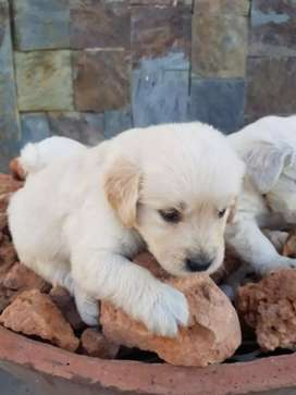 Linduras golden retriever divertidas