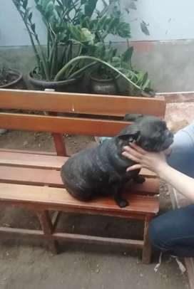 bulldog frances adulta
