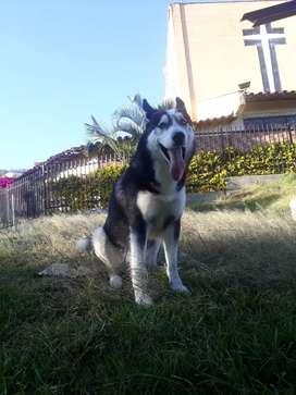 Lobo siberiano para Aparear
