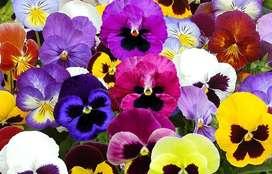 Semillas Flores Pensamiento Decoración Jardin Flor Planta Cultivos
