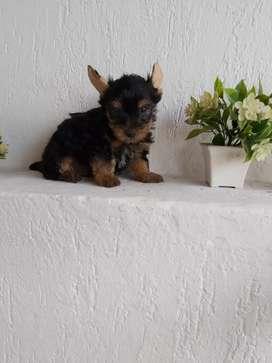 Vendo otro espectacular yorkshire terrier