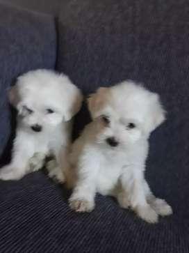 cachorros bichon frise machitos 14 de febrero cumplen 45 dias tel x wassap