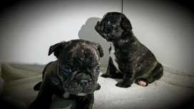 Bulldog Frances - Machos y Hembras