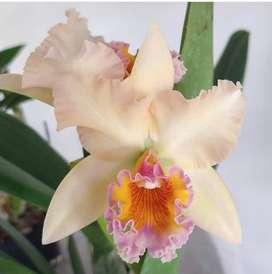 Orquideas catleya variedad de colores
