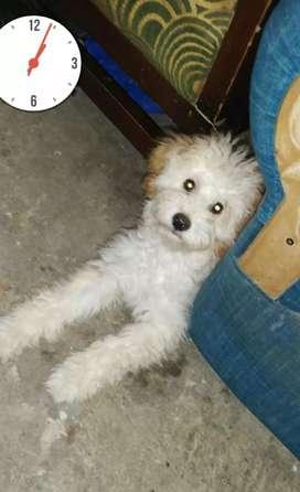 Se vende perrito raza frenhs