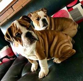 Bulldog Ingles 2.5 meses