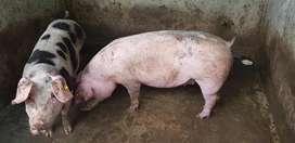 Cerdos cemicriollos  $1,70libra