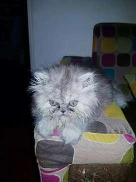 Se vende lindo gatito persa