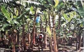 Venta de Bananeras en la Provincia de El Oro