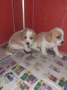 Beagles de color limón y tricolor