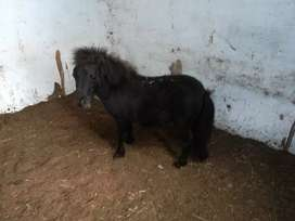 Mini horse hembra