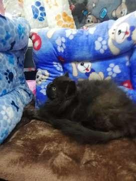 Hermoso gatico persa