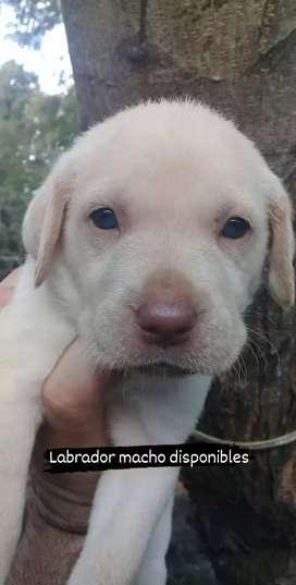 Labrador dorados bellos