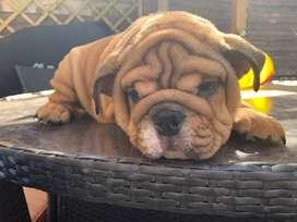precioso cachorro inglés