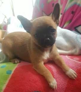 Vendo hermoso cachorro chihuahua toy