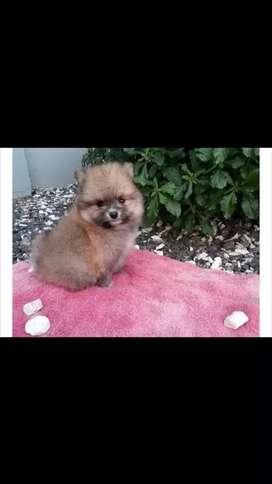 A la venta encantadores cachorros pomerania lulu mini