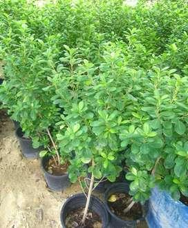 Ficus planta.