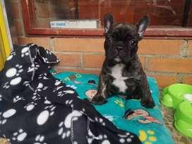 Se vende bulldog francés