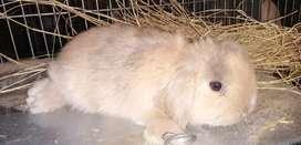 Vendo estos conejos raza belier en Bogotá
