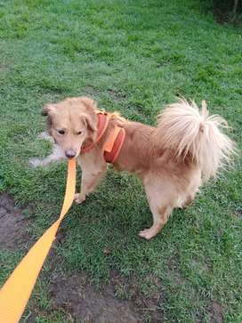 Hermoso perro raza golden buzca lindo hogar en adopcion