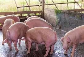 Venta de cerdos en pie