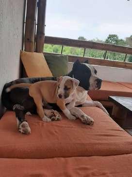 Hermoso cachorro American Pitbull color caramelo con 2 meses