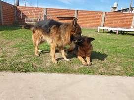 Vendo cachorro de pastor alemán, padres POA