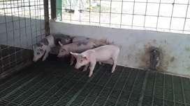 Chancho, cerdos para engorde