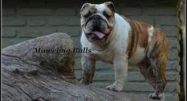 Bulldog ingles excelente pedigree en stud