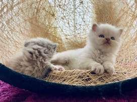 Gato persa imalayo