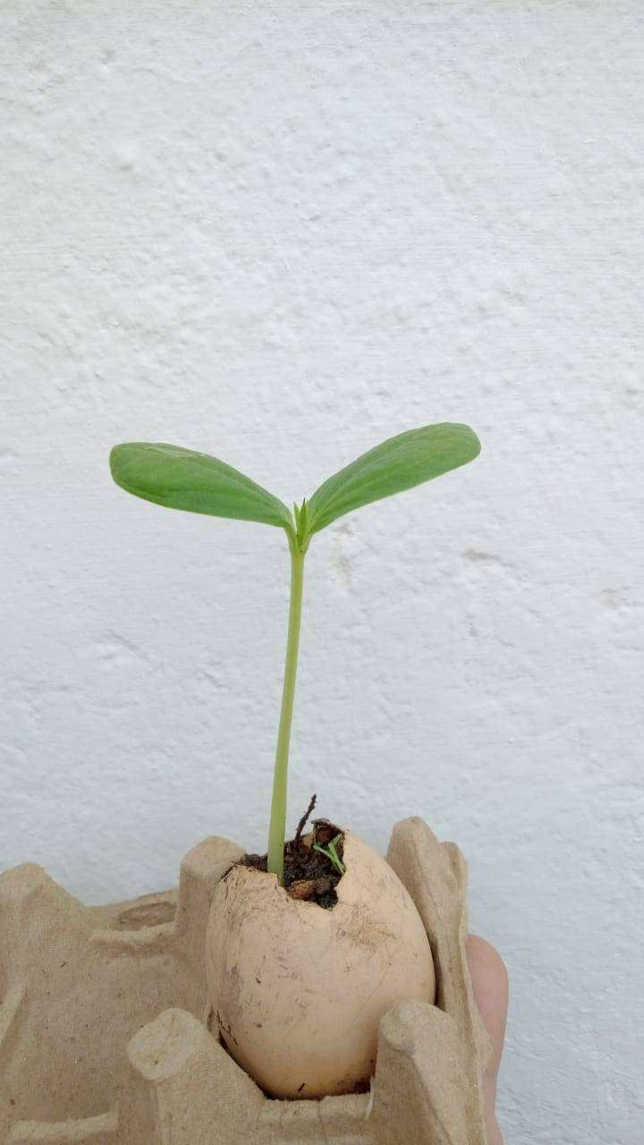 Cyclanthera pedata (pepino para relleno)