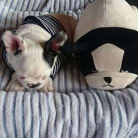 bulldog frances tierno y adorable vaquita.