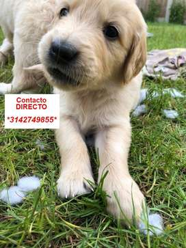 PRECIOSOS GOLDEN RETRIEVER EN VENTA