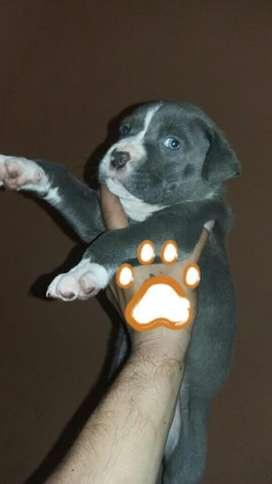 Cachorros Pit Bull Terrier Americano
