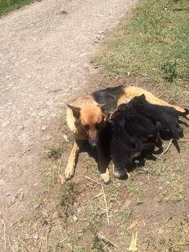Vendo pastores alemanes  buena linea