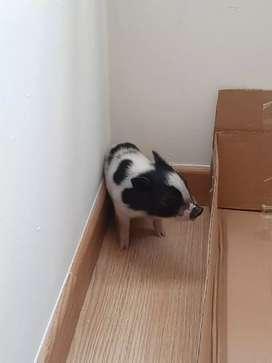 Cerdito mascota Mini pig