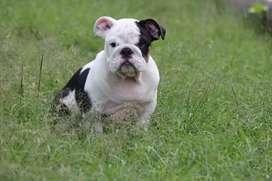 Hermoso bulldog inglés Blacktree