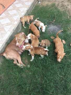 AMERICAN PITBUL EXELENTE GENETICA Y CABEZONEAS Contamos con los cachorros con la mejor característica para entrega macho