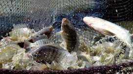 inversiones psicolas sistemas de crianza de peces