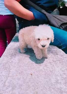 Hermoso perrito french poodle mini ultimo raza pequeña