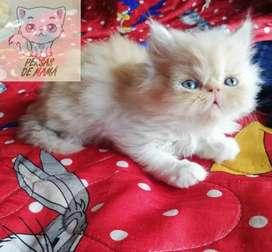 Lindos gatitos persas extremos y clásicos criadero especializado