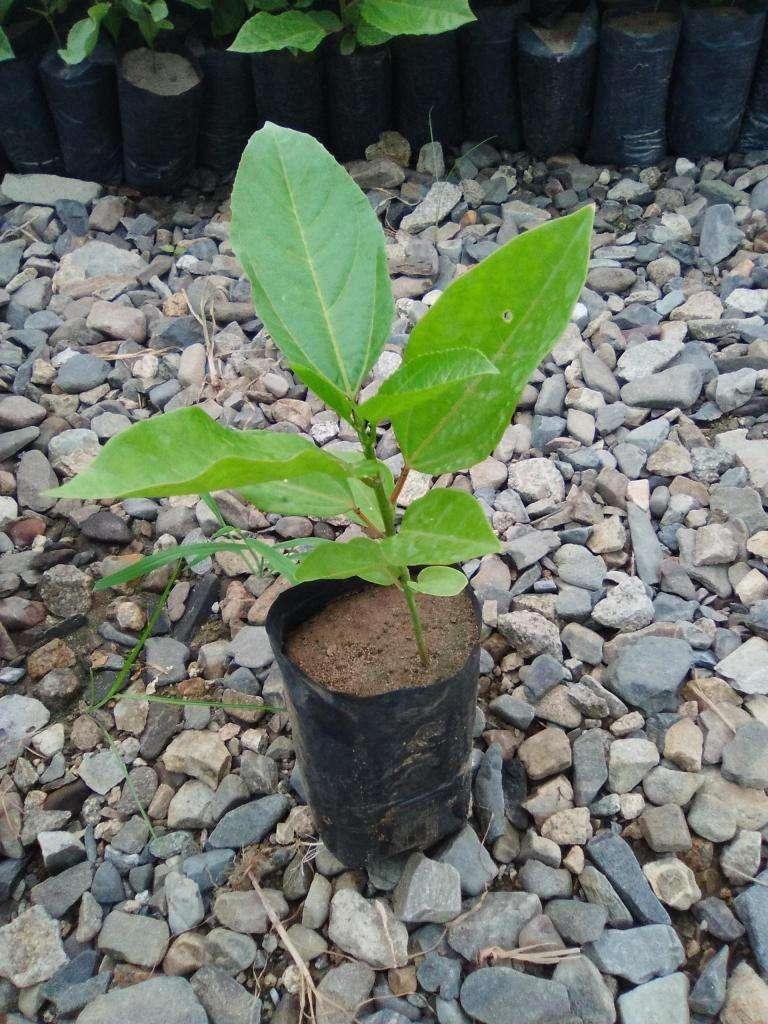Plantas de Maracuya Amarilla Colombiana 0
