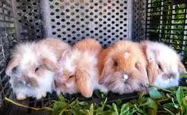 Audif conejos