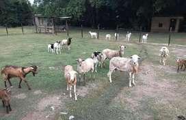 Vendo ovejos chivos