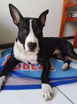 Pitbull american stanford busca hembra tiene 12 meses
