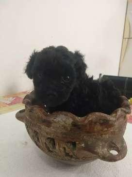 Cachorros Mini Toy Azabache