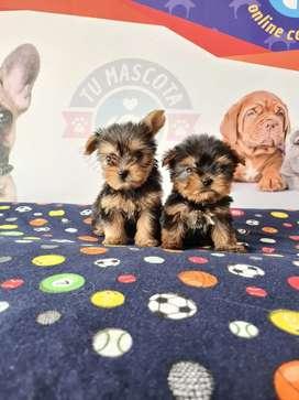 Yorkshire terrier mini ideales