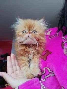 Vendo gato macho Persa 3 meses de edad