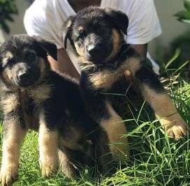 Hermosos cachorros Pastor aleman en venta estan disponibles con 45 dias de edad vacunados y desparasitados